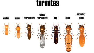 termites life stages